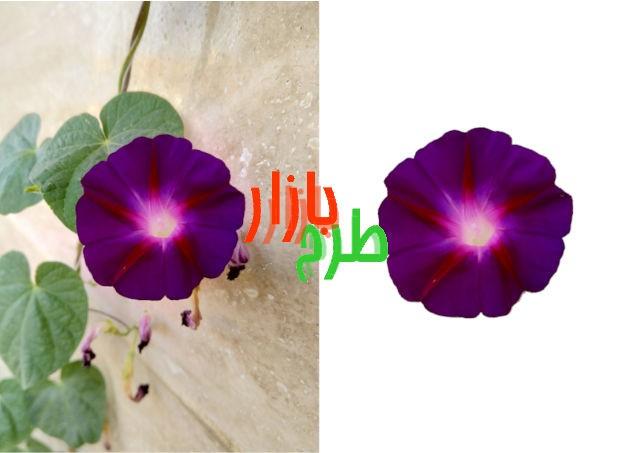 تصویر دوربری شده گل نیلوفر بنفش