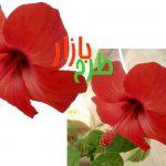 طرح دوربری شده گل ختمی قرمز