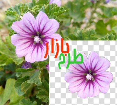 تصویر دوربری شده گل زیبای یاسی رنگ و بنفش