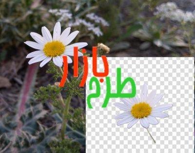 تصویر دوربری شده گل بابونه بسیار زیبا