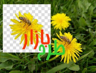 تصویر دوربری شده گل زرد و زنبور بسیار زیبا
