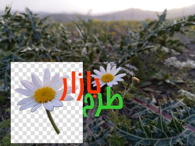 تصویر گل بابونه در غروب + دوربری