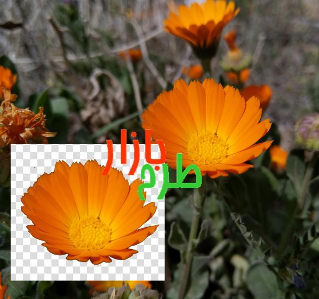 تصویر دوربری شده گل نارنجی بسیار خوشرنگ
