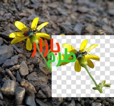 تصویر دوربری شده گل زرد و حشره